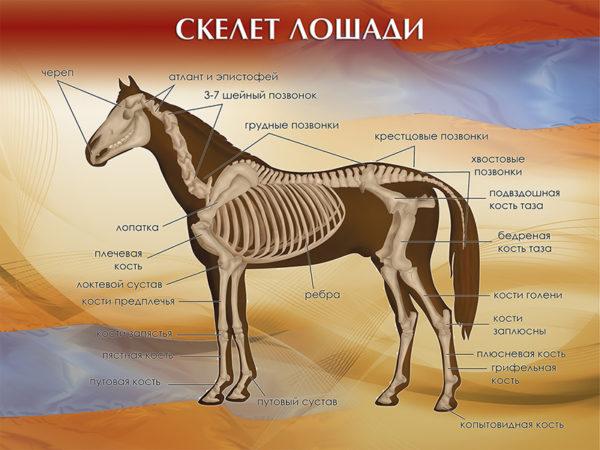 """Стенд """"Скелет лошади"""""""
