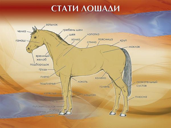 """Стенд """"Стати лошади"""""""